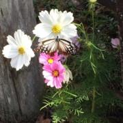 蝶アサギマダラとコスモス