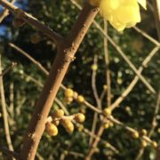 黄梅が咲いています