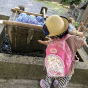 紫陽花を御手洗水に