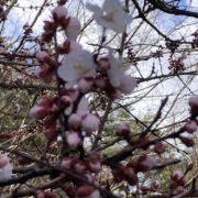 咲いてきました